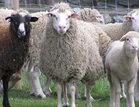 پرورش گوسفند داشتی