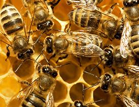 پرورش زنبور عسل و تولید عسل