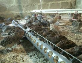 احداث واحد تولید و پرورش بلدرچین در قالب مصارف خانگی