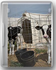 راهنمای جامع پرورش گوساله گوشتی