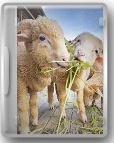 راهنمای جامع پرورش گوسفند