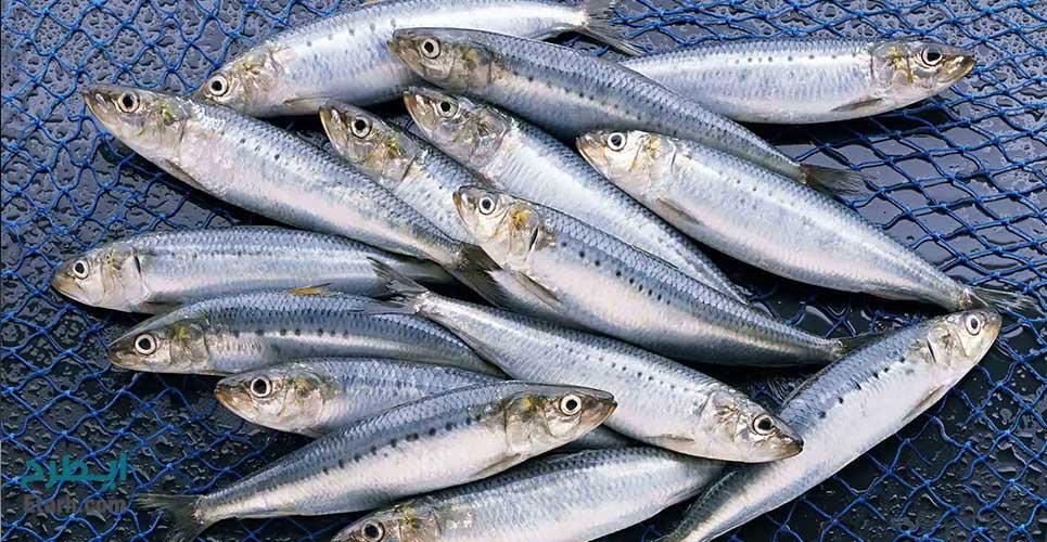 طرح تولید پودر ماهی