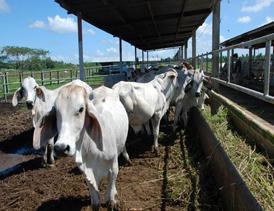 احداث واحد پرواربندی گوساله گوشتی