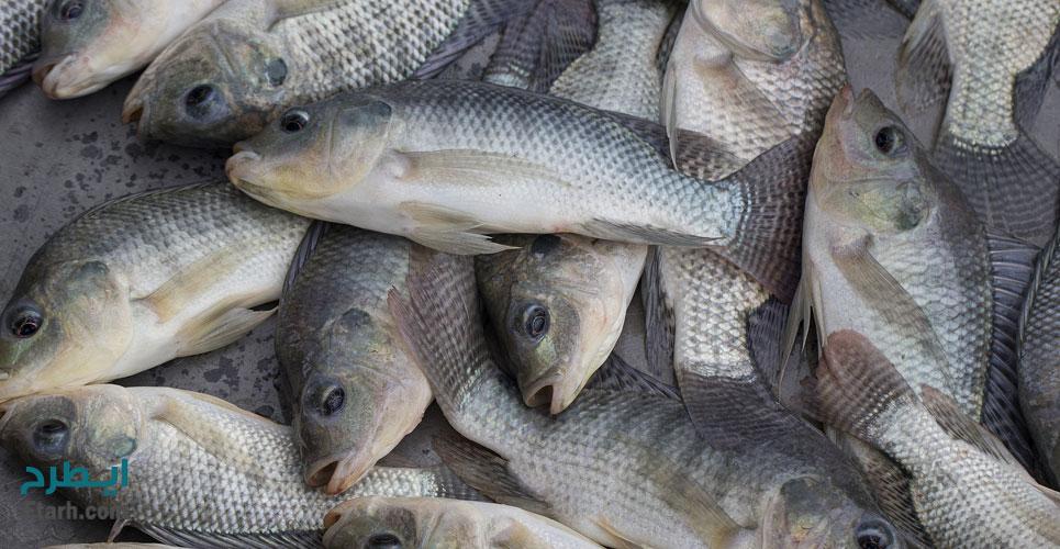 طرح پرورش ماهی تیلاپیا
