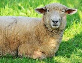 چرا تولید گوشت قرمز و پرواربندی گوسفند توجیه دارد؟