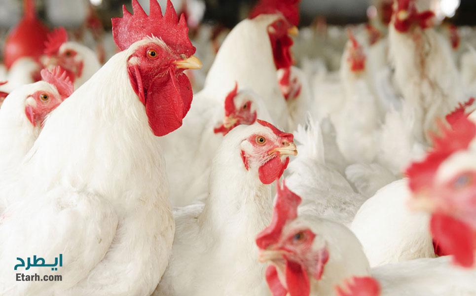 طرح-پرورش-مرغ-اجداد-گوشتی-1