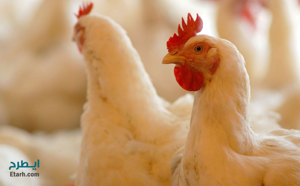 طرح-پرورش-مرغ-اجداد-گوشتی--2