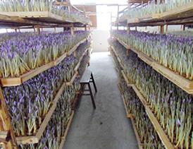 تلگرام بانک کشاورزی طرح پرورش زعفران گلخانه ای (سیستم هواکشت) | مشاوره سرمایه ...