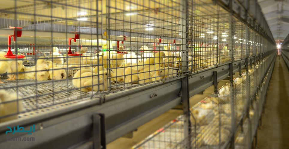پرورش مرغ گوشتی در قفس
