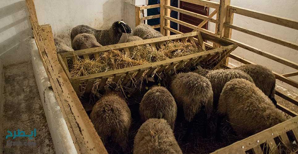 پرورش گوسفند نژاد رومانوف