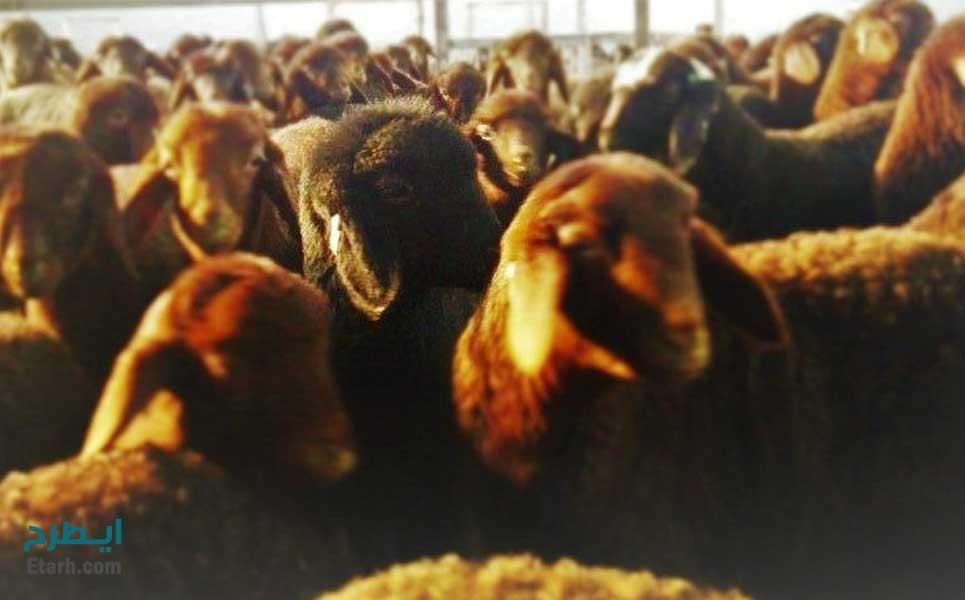 پرورش گوسفند افشاری