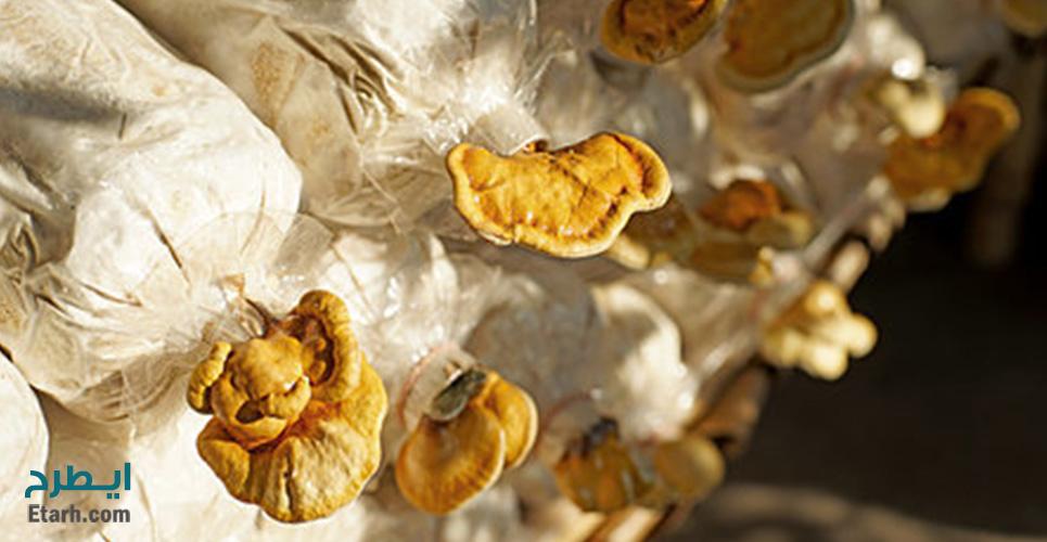 پرورش قارچ گانودرما