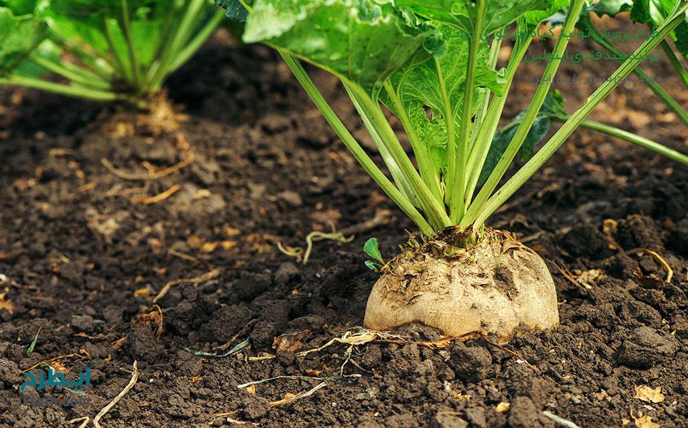 طرح-پرورش-تولید-گیاه-چیکوري-جهت-تولید-چند-قندي-اینولین