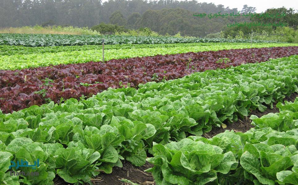 طرح-پرورش-تولید-گیاه-چیکوري-جهت-تولید-چند-قندي-اینولین.jpg1