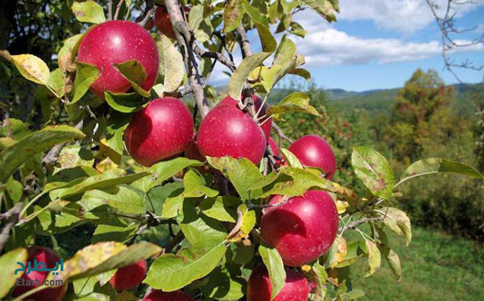 طرح-تولید-باغ-ارگانیک-سیب-1