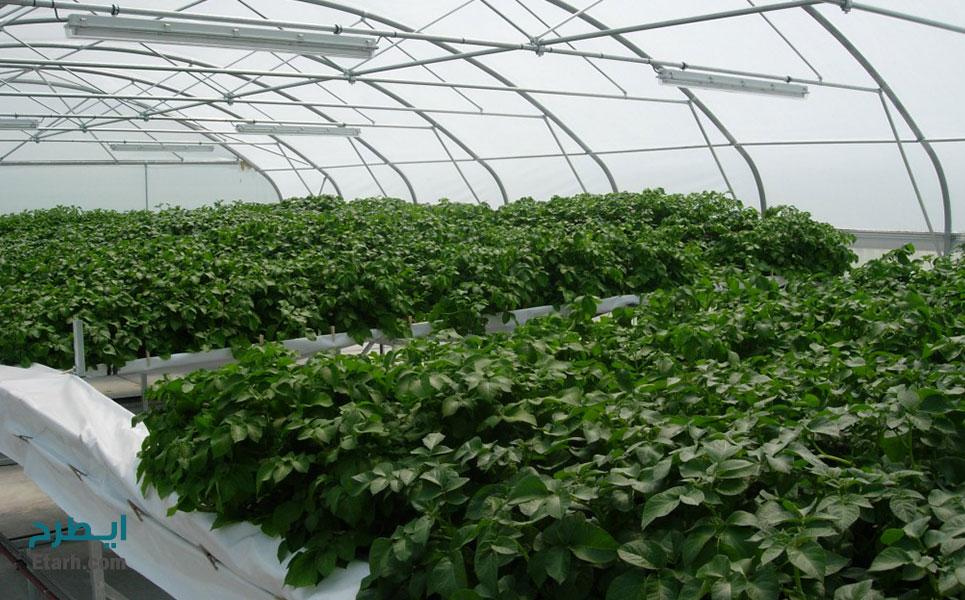 طرح تکثیر گیاهچه و تولید مینی تیوبر سیب زمینی (4)