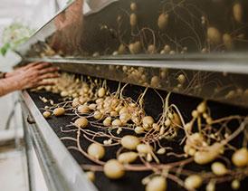 طرح تکثیر گیاهچه و تولید مینی تیوبر سیب زمینی (5)
