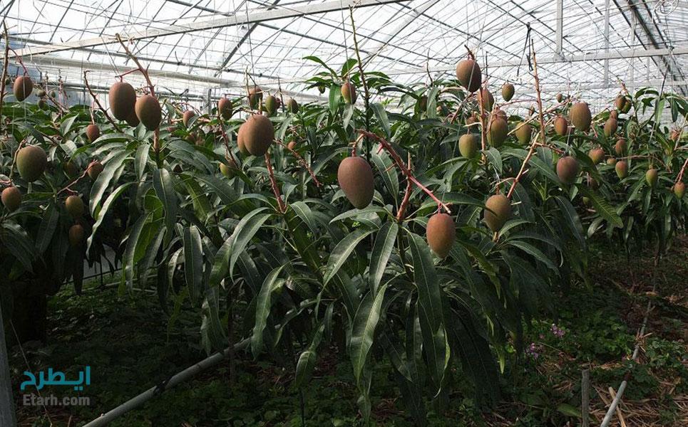 طرح پرورش انبه گلخانه ای (2)