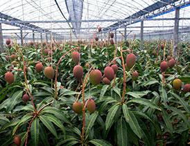 طرح پرورش انبه گلخانه ای (4)