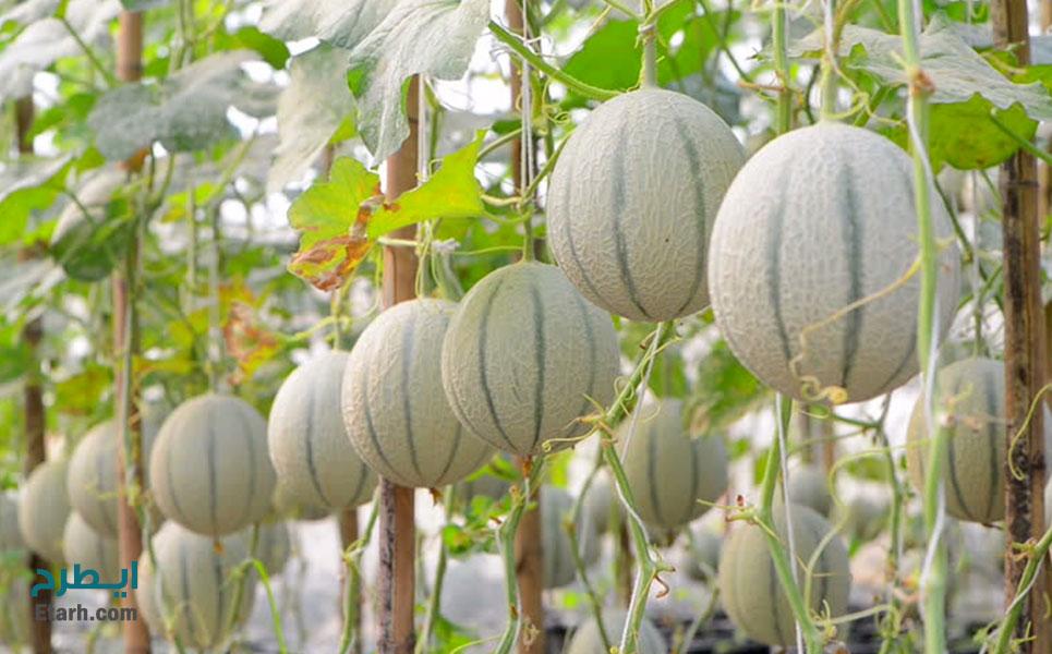 طرح پرورش طالبی گلخانه ای (2)