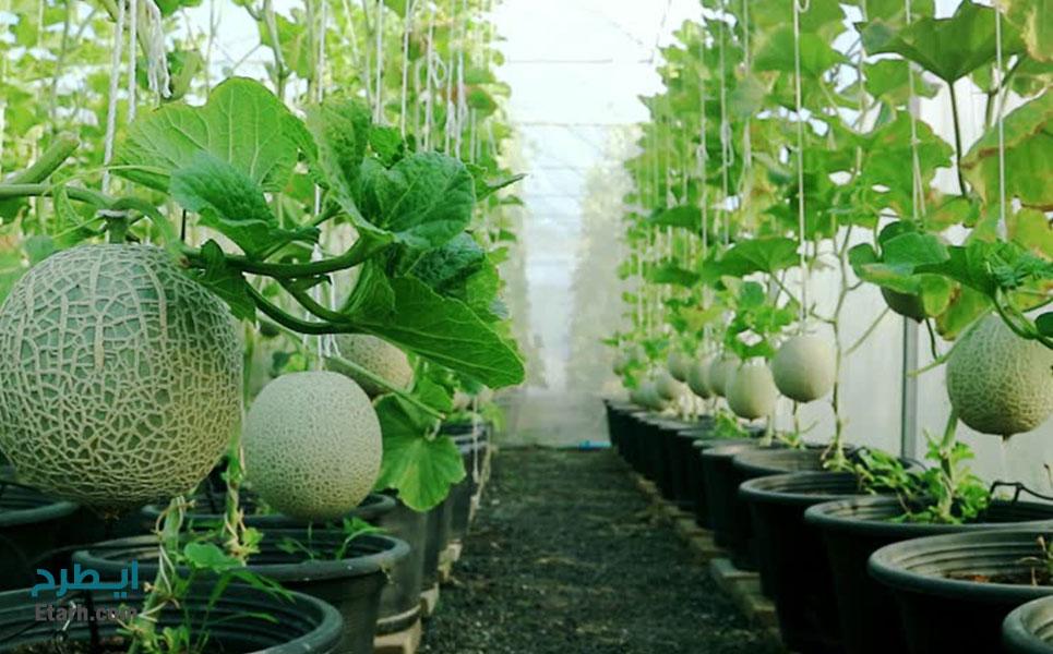طرح-پرورش-طالبی-گلخانه-ای-(6)