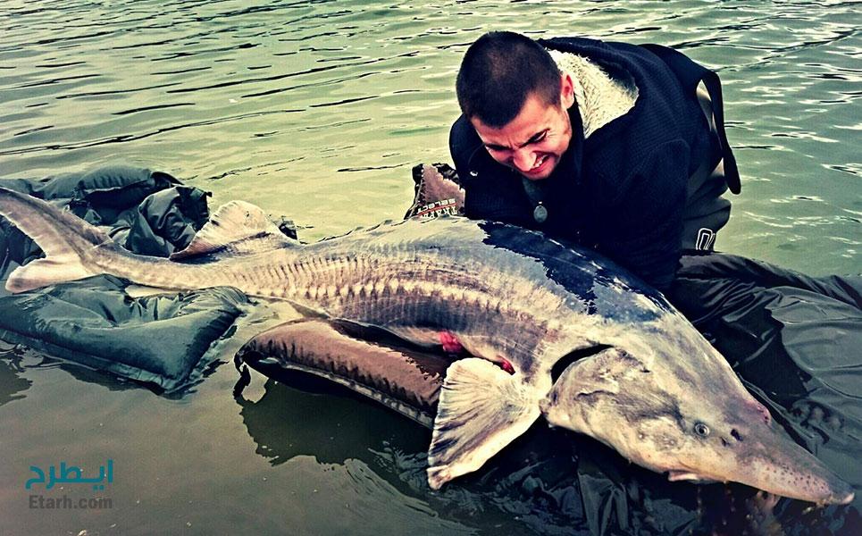 طرح پرورش فیل ماهی (2)