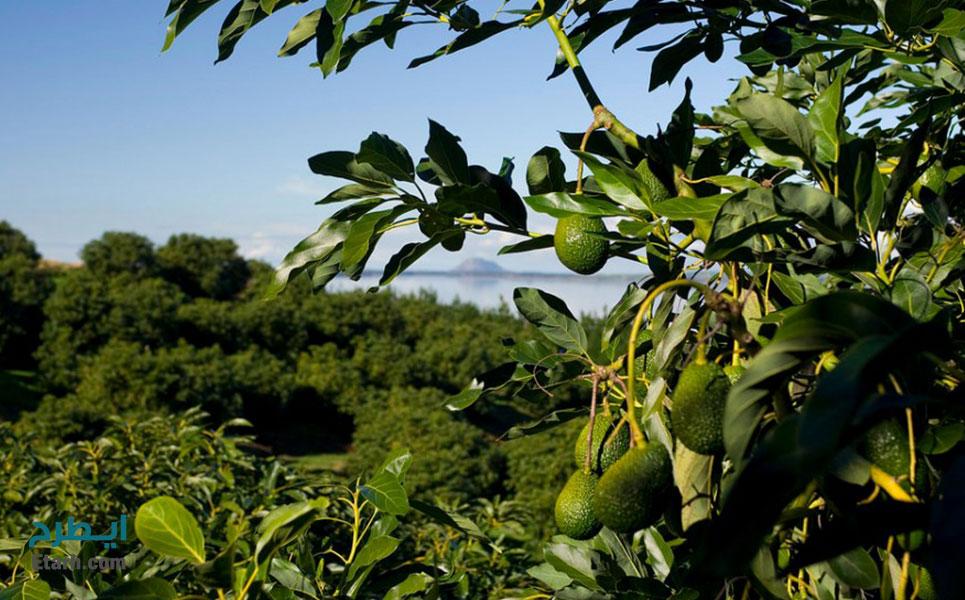 طرح کاشت و پرورش آووکادو (1)